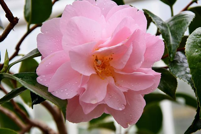 Rose, Rose Bush, Rose Bloom, Pink Flower, Blossom