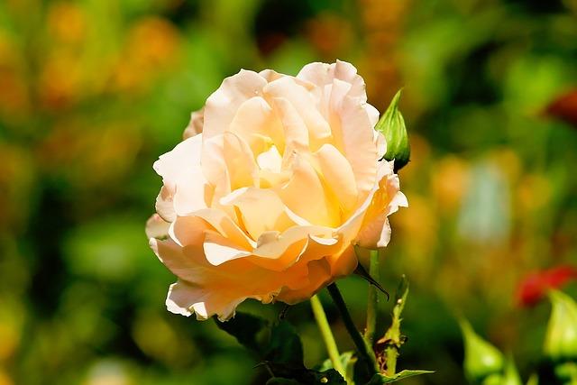 Rose, Blossom, Bloom, Summer, Stock Rose, Front Yard