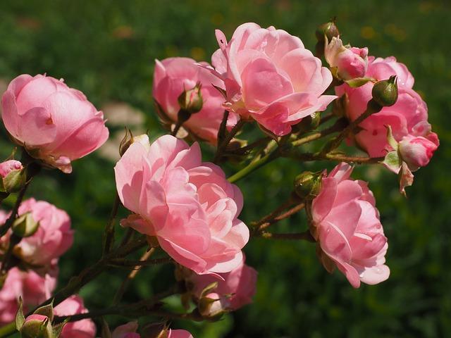 Roses, Rosebush, Pink, Garden Roses, Blossom, Bloom