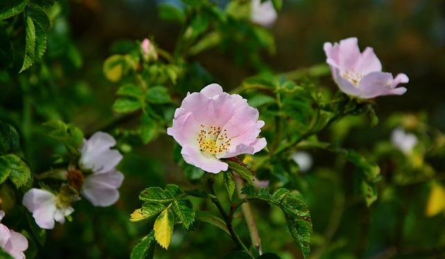 Heck Roses, Dog Rose, Bush, Sammelfrucht, Blossom