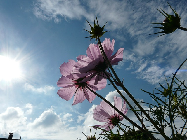 Flower, Blossom, Bloom, Light Pink, Translucent, Sky