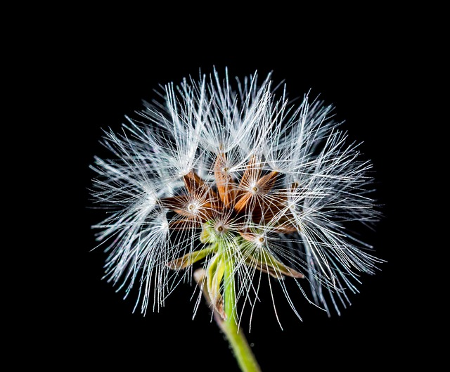 Dandelion, Small Flower, Wild Flower, Blossom, Bloom