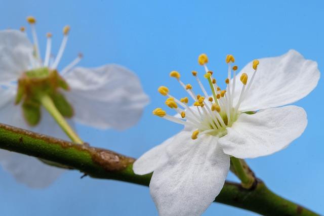 Cherry Blossom, Blossom, Bloom, Spring