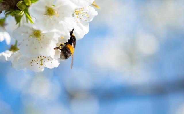 Cherry Blossom, Bumblebee, Cherry, Blossom, Spring