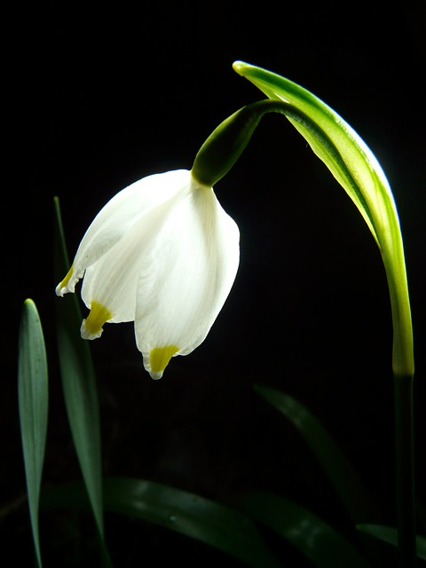 Snowflake, Flower, Spring, Blossom, Bloom, Bloom, Plant