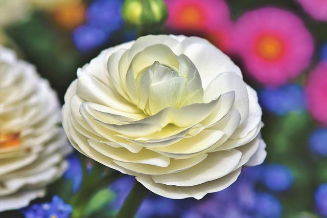 Ranunculus, Flower, Blossom, Bloom, Spring Flower