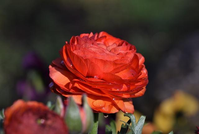 Ranunculus, Flower, Blossom, Bloom, Spring Flower, Red