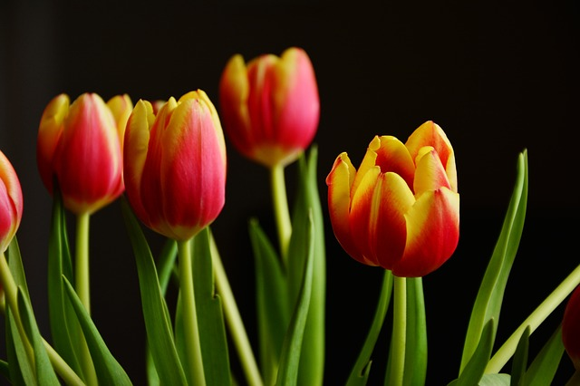 Tulips, Spring Flowers, Blossom, Bloom, Schnittblume