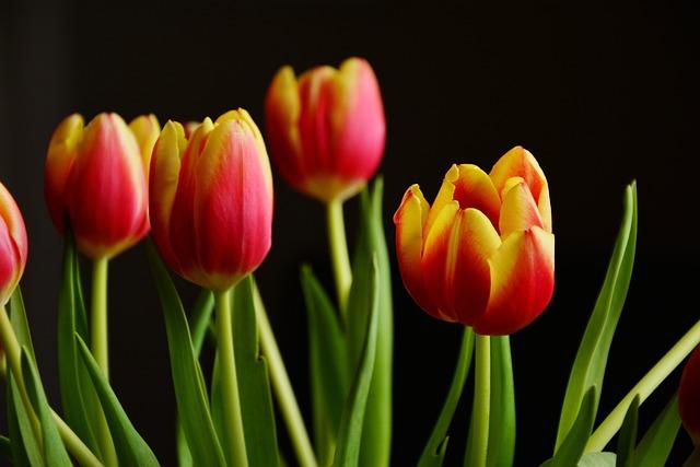 Tulips, Spring Flowers, Blossom, Bloom, Schnittblume