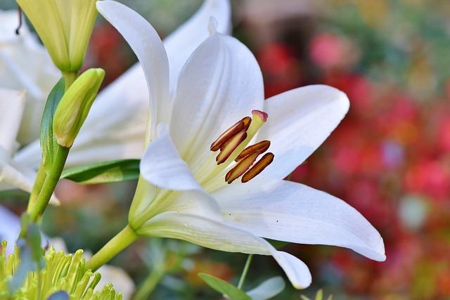 Flower, Lily, Botany, Blossom, Bloom, Stamen, Pistil