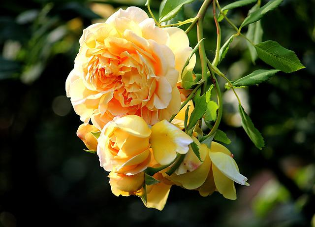 Summer, Yellow Rose, Blossom, Bloom, Rose Bloom