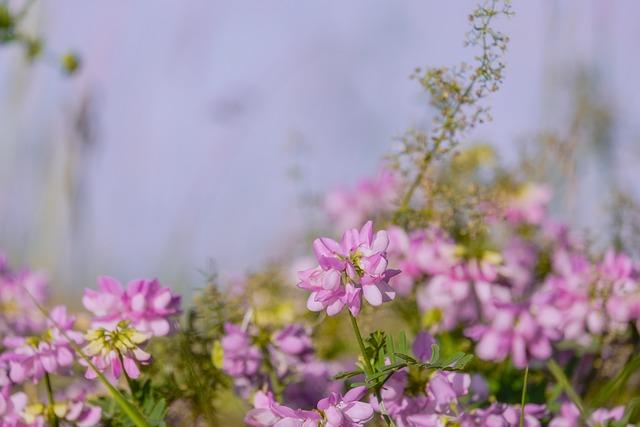 Farmland Vetch, Fodder Vetch, Summer-wicke, Blossom