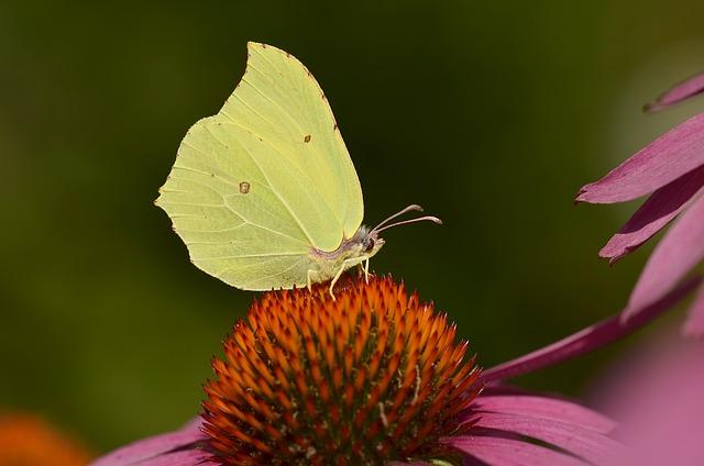 Gonepteryx Rhamni, Butterfly, Blossom, Bloom, Sun Hat