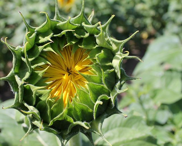 Sunflower, Bud, Flower, Blossom, Yellow