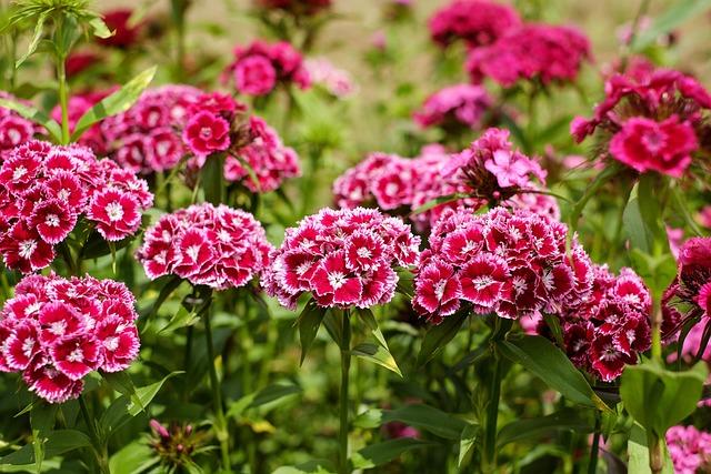 Sweet William, Carnation, Flower, Blossom, Bloom, Bloom