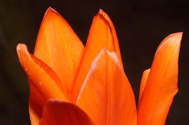 Blossom, Bloom, Petals, Delicate Orange, Tulip, Sweet