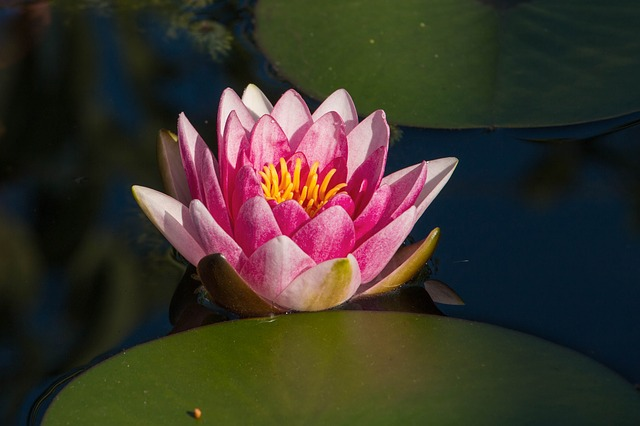 Water Lily, Pink, Blossom, Bloom, Pond, Aquatic Plant