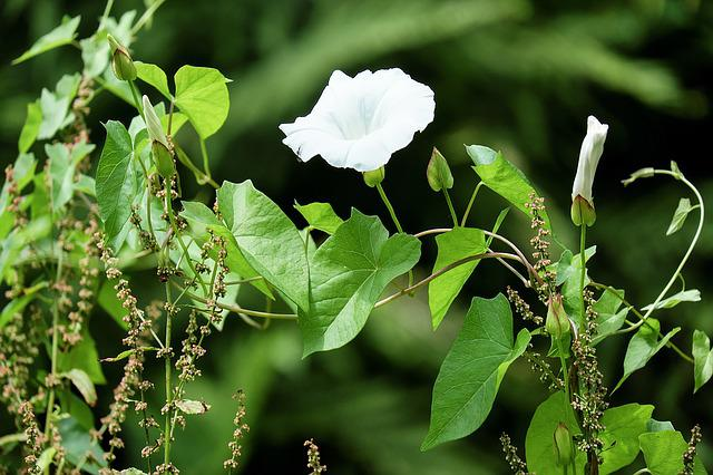 Bindweed, Weed, Blossom, Bloom, White, Trichtenförmig