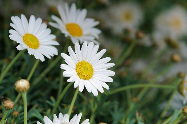 Daisies, Flower, Blossom, Bloom, White, Close, Bloom