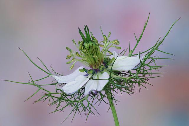 Flower, Nigella, White, Damask Black Cumin, Blossom