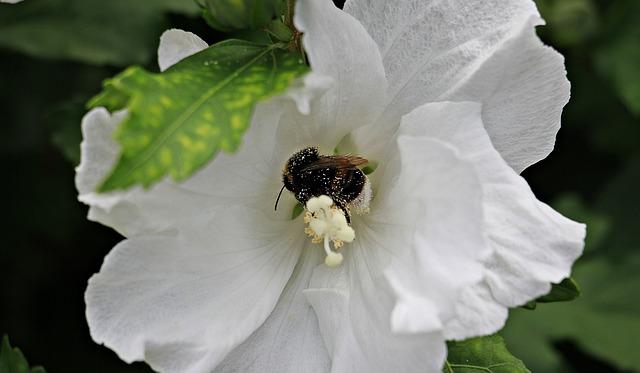 Mallow, Flower, Bee, Bee Pollen, Blossom, Bloom, White