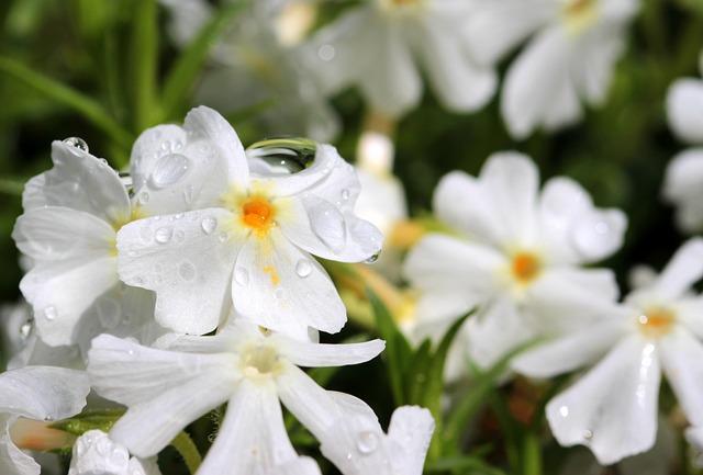 Phlox, White, Blossom, Bloom, Phlox Subulata