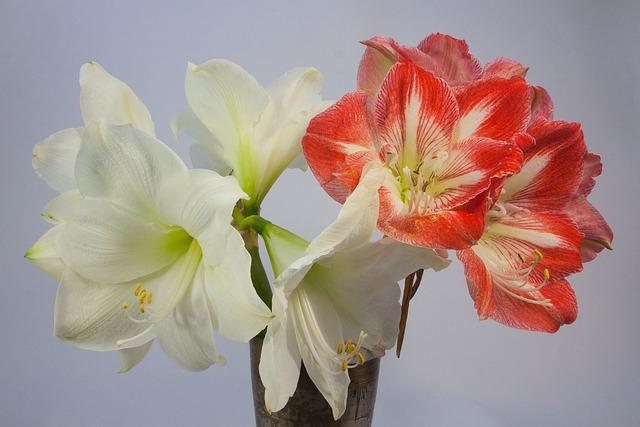 Amaryllis, Red, White, Blossom, Bloom, Flower, Plant