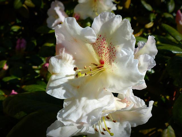 Flower, Blossom, Bloom, Rhododendron, White, Nature