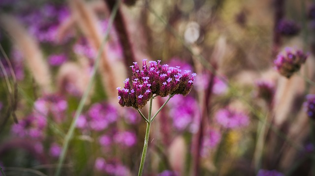 Wild Flower, Verbena, Beauty, Purple, Blossom, Bloom
