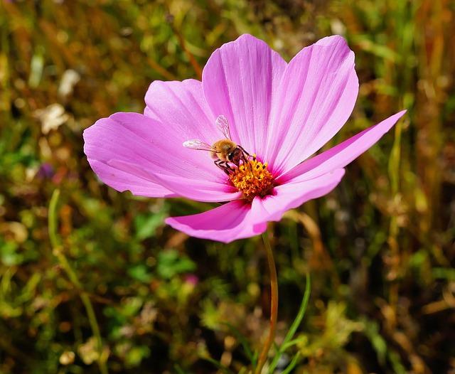 Flower, Blossom, Bloom, Close, Pink, Wild Flower, Bee