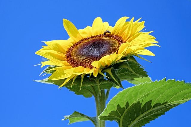 Sun Flower, Flower, Blossom, Bloom, Flowers, Yellow