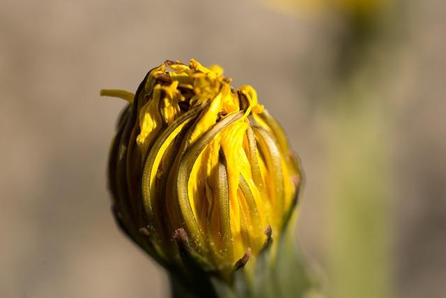Dandelion, Yellow, Orange, Bloom, Blossom, Bloom