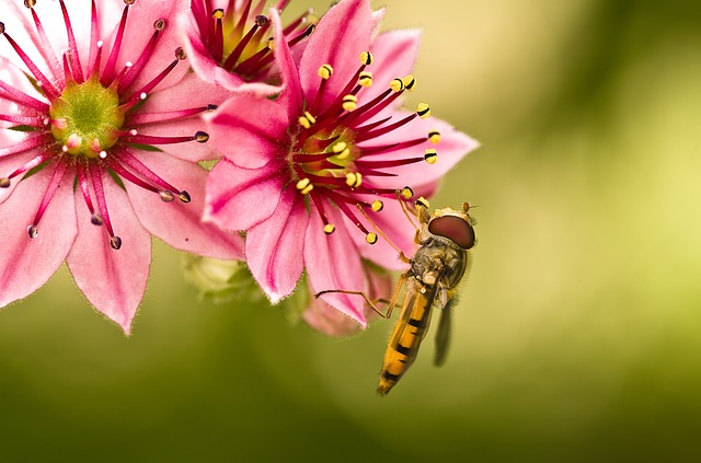 Hoverfly, Mimicry, Yellow, Houseleek, Blossom, Bloom