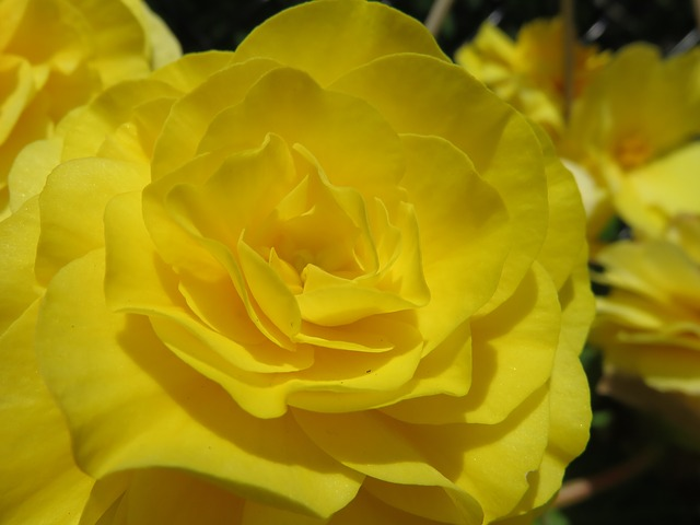 Yellow, Bloom, Blossom, Rose, Begonia, Tuberous Begonia