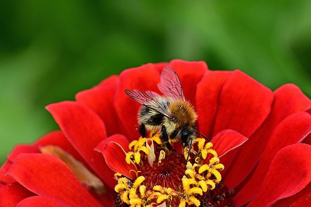 Flower, Blossom, Bloom, Zinnia, Hummel, Macro