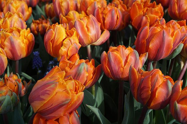 Tulips, Holland, Field Of Flowers, Blossomed