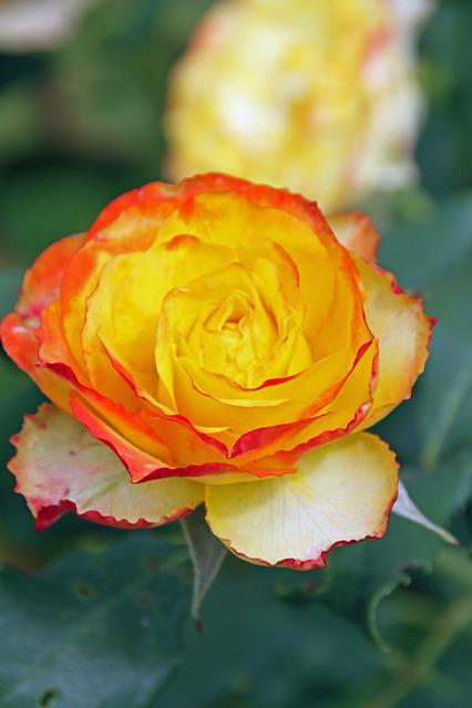 Rosebush, Yellow, Orange Border, Petals, Blossomed