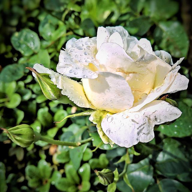 Rose, Floribunda, White, Blossomed, Delicate Petals