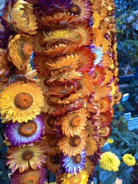 Everlasting Flower, Everlasting, Flower, Blossoms
