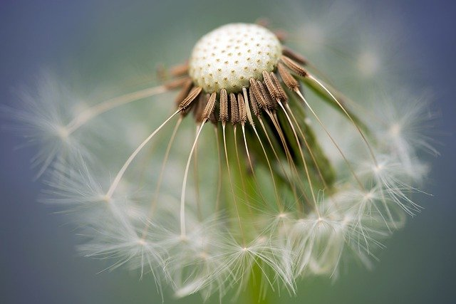 Dandelion, Plant, Seed Head, Common Dandelion, Blowball