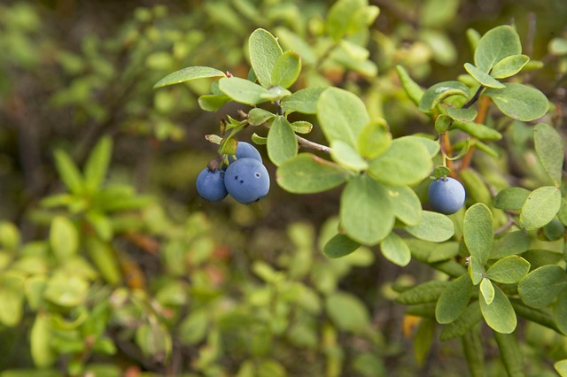 Alaskan, Blueberry, Branch, Wild, Fruit, Blue, Nature