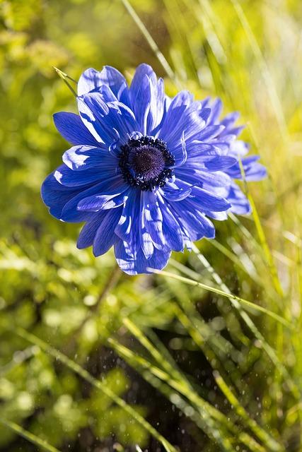 Anemone, Blue, Blue Anemone, Blossom, Bloom