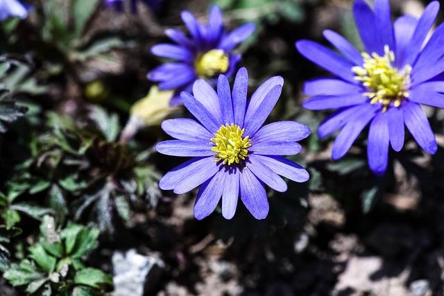Balkan Anemone, Blue, Blossom, Bloom, Blue Flower