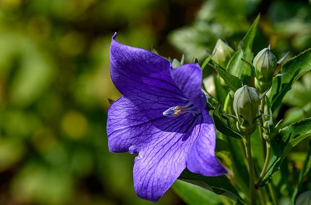 Balloon Flower, Blue, Blossom, Bloom, Flower Garden