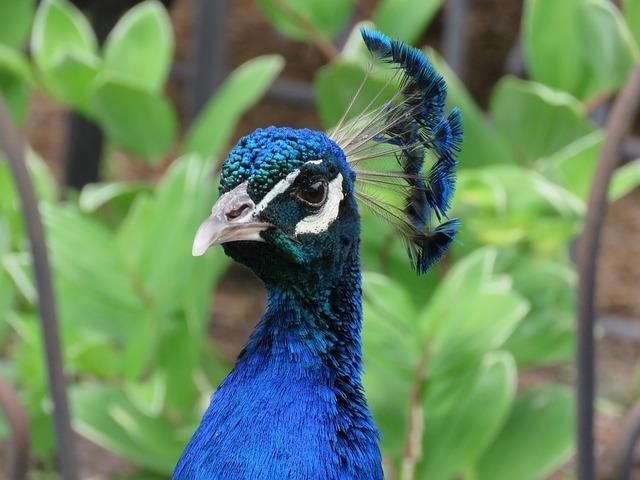 Peacock, Peafowl, Bird, Blue, Head, Beak, Colorful