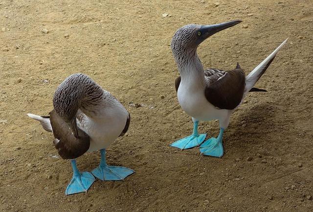 Gannets, Island, Birds, Blue
