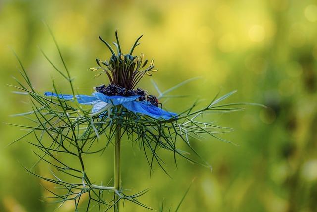 Black Cumin, Medicinal Plant, Blue, Virgin In The Green