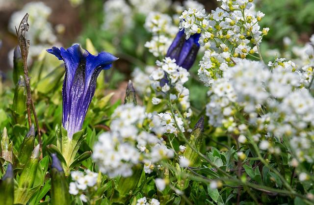 Gentian, Flower, Blossom, Bloom, Blue, Alpine Flower