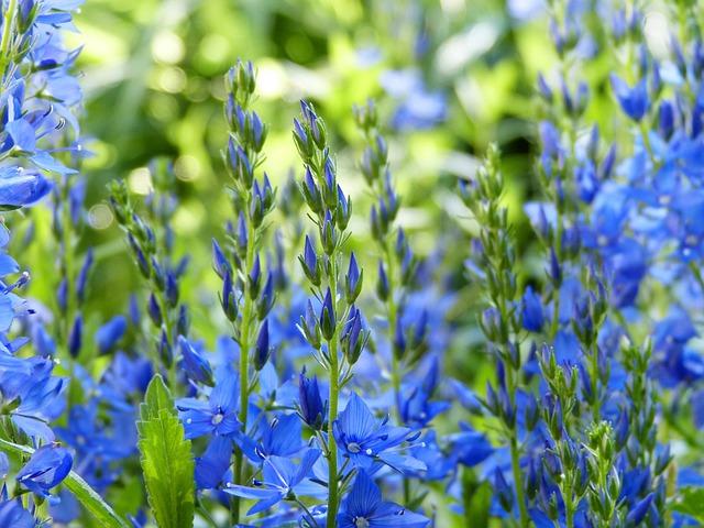 Bluebells, Blossom, Bloom, Blue, Garden, Bees