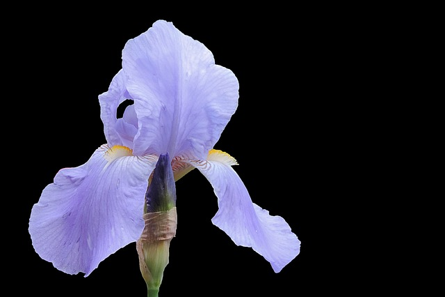 Iris, Blossom, Bloom, Blue